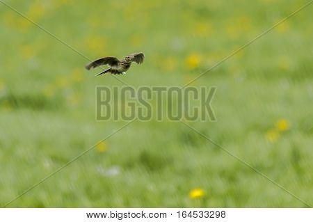 Common Skylark (alauda Arvensis)