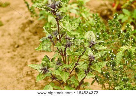 Basil plants at an organic small farm