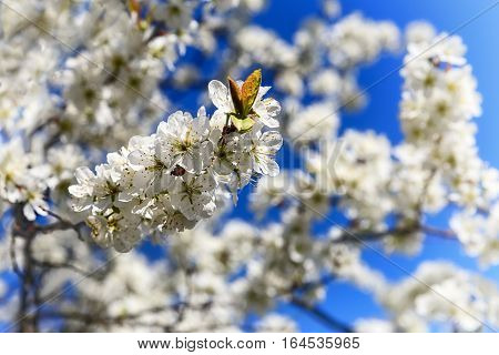 White and pink cherry blossoms decorate the city around the world. To wander and to dream under blossoming branches at this time - a real pleasure that you need to experience at least once in life