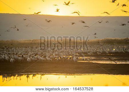 Common Crane Birds In Agamon Hula Bird Refuge