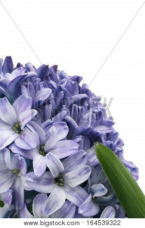 Gently purple hyacinth flower isolated on white background