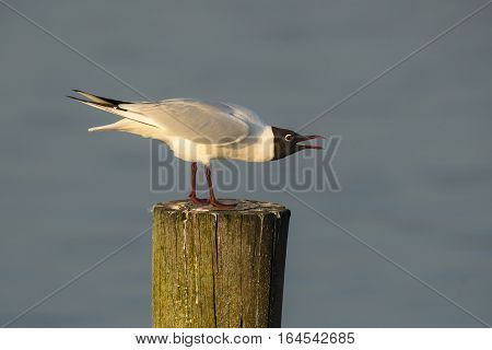 Black-headed Gull (Chroicocephalus ridibundus) adult standing on a Wooden Pole in a Lake in Threatening Pose