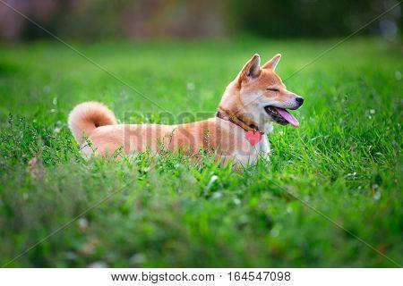 A young shiba inu resting in green garden