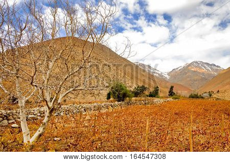Dead grape vines in the shadow of the Andes Mountain Range in the Elqui Valley in Chile
