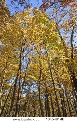 Looking up into a Sea of Yellow in Wyalusing State Park in Wisconsin