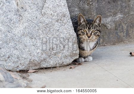 Black and white tabby cat crouching next to a large bolder