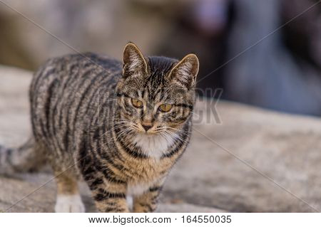 Close up of a black and white tabby cat standing on a large bolder