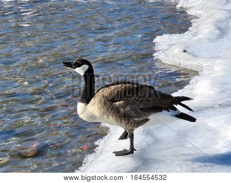 Goose on the ice near a shore of the Lake Ontario in Toronto Canada January 6 2017