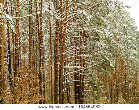 Beautiful Winter Forest, Shrouded In Snow. Huge Snowdrifts, Trees In The Snow. Winter Landscape. Rea