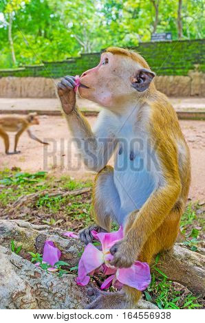 The toque macaque eats the petal of pink lotus flower sitting on the tree's roots Anuradhapura Sri Lanka.