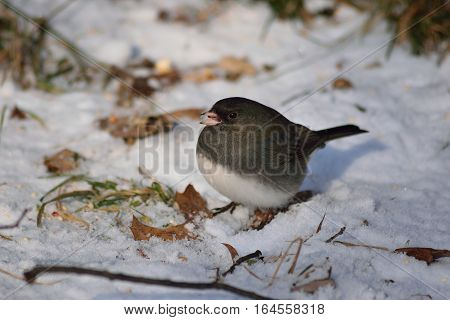 Dark Eyed Junco Feeding In The Snow