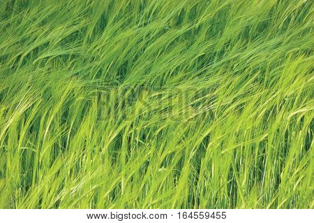 Fresh New Green Common Wild Barley Field Horizontal Background Pattern Hordeum vulgare L. Spikes Organic Cereals Metaphor Concept