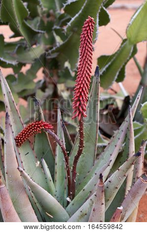A spike of bright red blossoms stand tall in the Agave plant.
