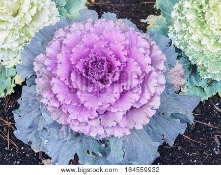 Color cabbage leaves growing in the organic garden