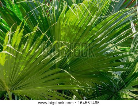 close up green palm leaves texture background