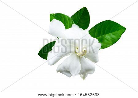 White gardenia (jasminoidesGardenia jasmine) and green leaf isolated on white.Saved with clipping path