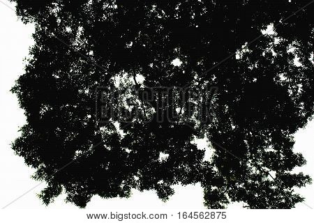 Black Leaves Tree In White Background Isolated Outdoor Plant Silhouette Branch For Texture Backgroun