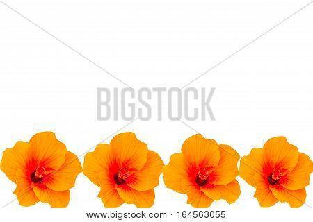 Macro of orange China Rose flower isolate on white background