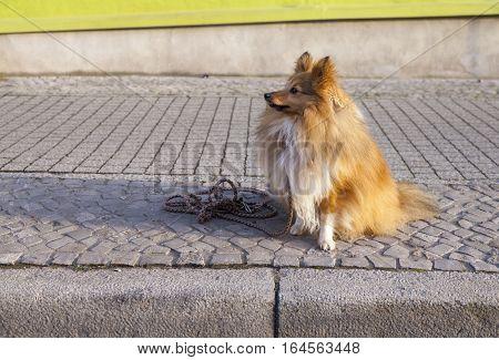 Shetland Sheepdog sits with a leash on street