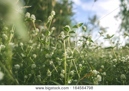 SmallWhite flowers Focus on center.Grass lots of beautiful white flowers.