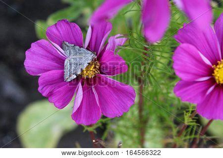 Gray Moth on bright pink Cosmos blossom
