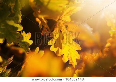 Autumnal Oak Leaves Glowing In Sunlight