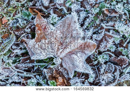 Leaves With Hoarfrost In Winter