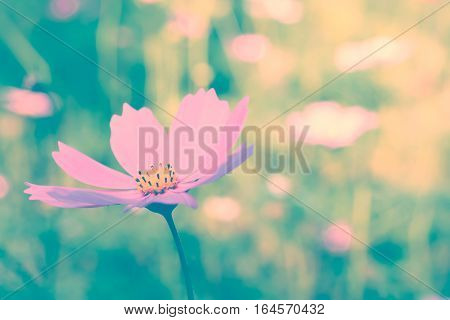 Cosmos flower. Retro vintage filter effect. Nature Background.