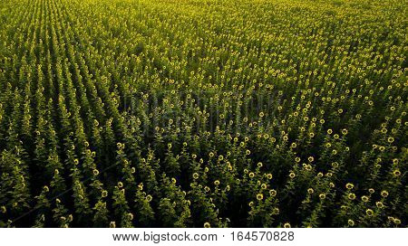 aerial view of sun flowers field blooming