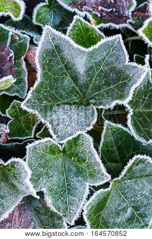Ivy Leaves With Hoarfrost In Winter