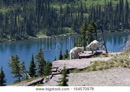 Rocky Mountain Goats on a ledge overlooking Hidden Lake