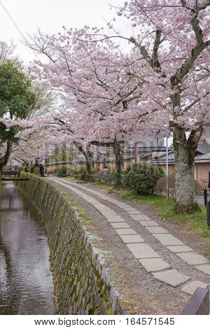 Philosopher's Walk with sakura (cherry blossom) in the Springtime. Kyoto Japan.
