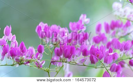 Pink Coral vine flower shimmering in the wind