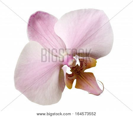 phalaenopsis light pink flower white isolated background with clipping path. Closeup. no shadows. for design. Nature.