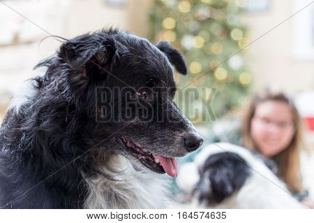 older dog sitting in livingroom at Christmas. another dog and young woman can be seen blurred in the background with the Christmas tree.