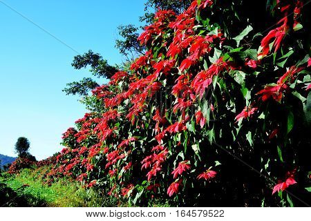Christmas star or Poinesettia Red poinsettia flowers (Euphorbia pulcherrima)