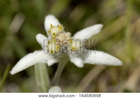 Edelweiss - Leontopodium alpinum Small Alpine Wild Flower