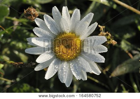 Ox Eye Daisies - Leucanthemum vulgare Dwarf form covered with Dew