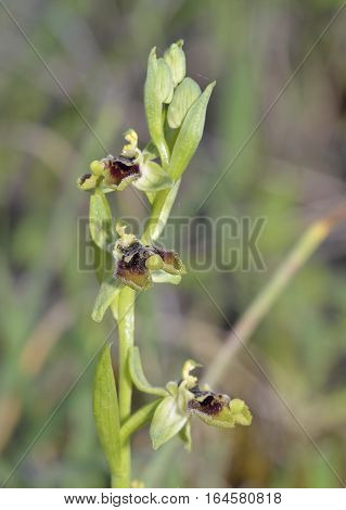 Ophrys aphrodite previously known as Ophrys bornmuelleri Endemic orchid from Cyprus