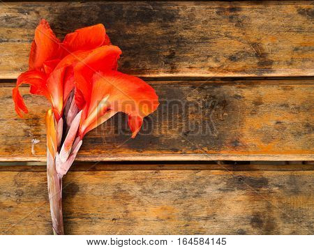 Red Canna flower on wooden table background