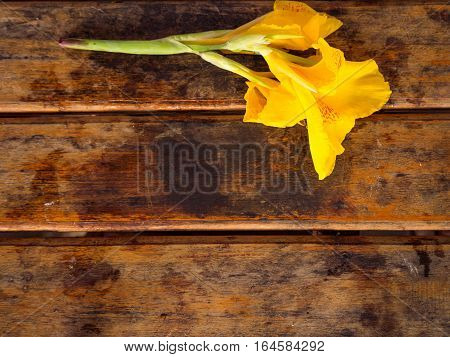 Yellow Canna flower on the wooden table background