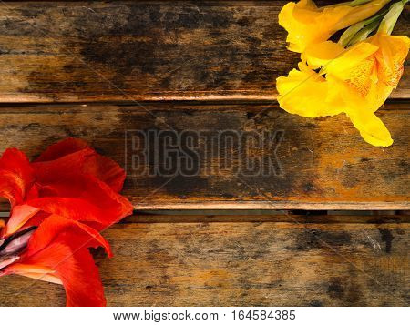 Ren and Yellow Canna flower on wooden background