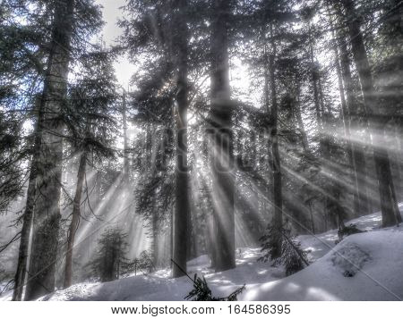 Sun rays through trees in winter forest. Grouse Mountain. North Vancouver. British Columbia. Canada.