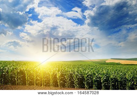 Green field with corn. Blue cloudy sky. Sunrise on the horizon.