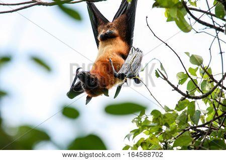 Flying Dog, Fox Or Fruit Bat. Pteropus Vampyrus