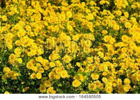 Chrysanthemum indicum Linn flowers. Or Chrysanthemum morifolium Ramat flowers in plantation