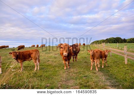 Curious French Brown Cow In A Meadow