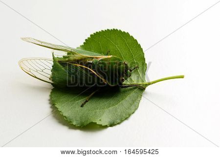 close up of the cicada isolated on white background