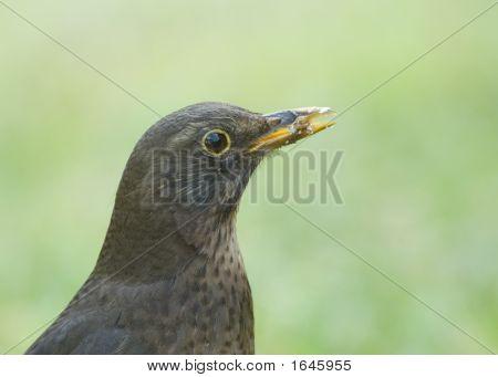 Female Blackbird With Food In Her Beak