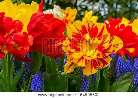 Red and yellow blooming parrot tulips and bluebell flowerbed close up